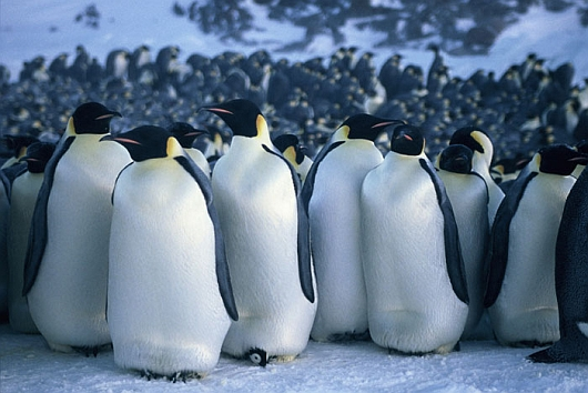 march of the penguins thomas acda